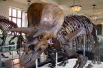 Triceratops-Skelett im New Yorker American Museum of Natural History. Bild:  Michael Gray from Wantagh NY- USA/ CC-BY-SA-2.0/wikimedia commons