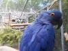 papagei-blau
