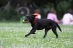 Schwarzer Hund auf einer Wiese mit Ball in der Schnauze