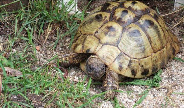 Griechische Landschildkröte im Gras